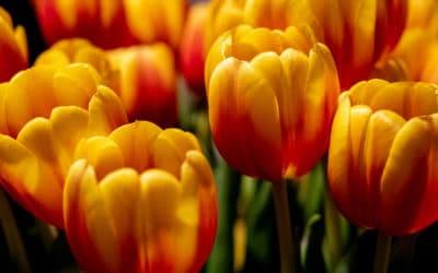 Vol au-dessus d'un bouquet de tulipes